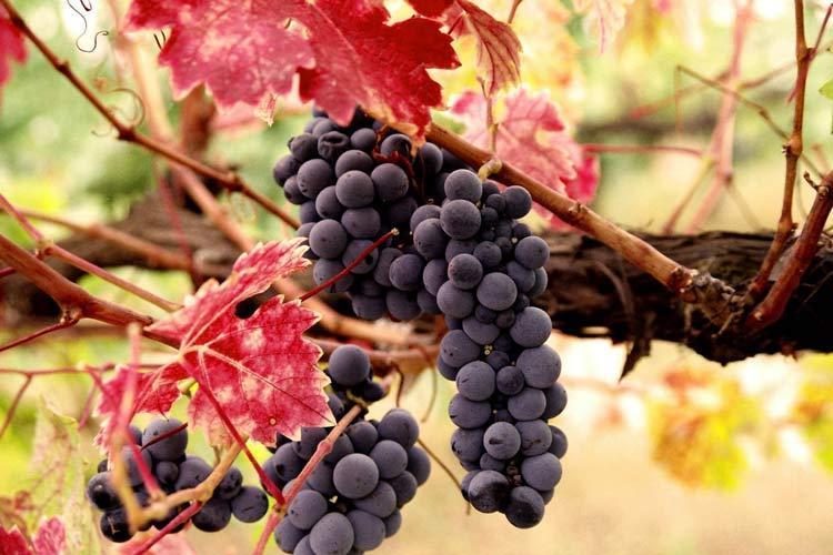 شروع به کار سومین جشنواره انگور ارومیه