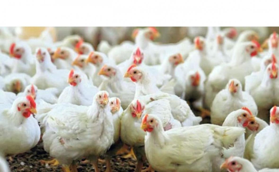 تولید 3000 تن گوشت سفید و تخم مرغ در سیمرغ